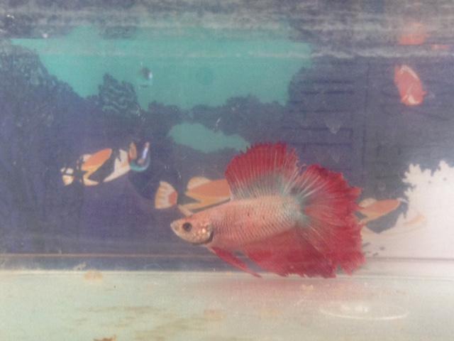 Doudou notre poisson combattant